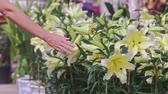 floral : close person hand touches large white lilac flowers in pots on street market at sunlight before Vietnamese new year TET