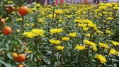 brilho : closeup view from yellow chrysanthemums to tangerine tree at sunlight wind shakes leaves before Vietnamese new year TET