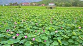 назад : drone flies backward across lotus pink flowers lake from small town against green mountains Стоковые видеозаписи