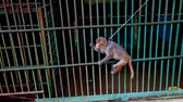 chain : closeup small monkey with chain on neck walks to-and-fro outside metal cage in tropical zoo Stock Footage