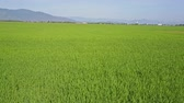 назад : drone moves fast backward close to boundless green rice field against distant village by pictorial hills
