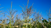 corn : wind shakes panicles on corn stalks against blue sky