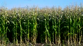 метелка : wind waves corn leaves stalks on field against blue sky
