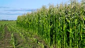 ég : harvested and green maize fields by road under blue sky