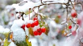 üvez ağacı : wind shakes rowan tree berries covered with snow in winter Stok Video