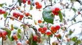 üvez ağacı : close frozen mountain ash red berries with snow caps