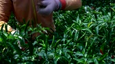 перец чили : close view farm worker in gloves harvests ripe red chilli