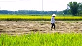 farmer in cone hat spreads rice straw in rolls across field