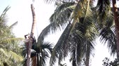 skilled : indian man nicks in palm tree trunk to knock down under sky
