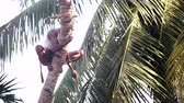 descontraído : man clasps palm tree trunk and unravel rope against leaves Stock Footage