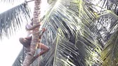 toka : worker clasps palm tree trunk and fixes special stick