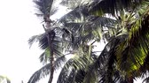 skilled : worker climbs up high coconut palm tree to cut branches