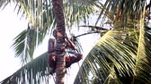 knocking : man nicks in with machete palm tree trunk to knock down Stock Footage
