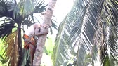 toka : brave guy climbs down clasping palm tree trunk by leaves Stok Video