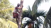indian worker with mustache fixes stick support on palm tree Vídeos