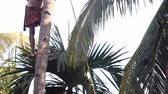 worker stands on support cuts palm tree top with machete