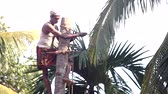 knocking : local man clasps tree trunk and ties palm tree top with rope