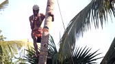 knocking : man stands on support nicks in trunk to knock down palm tree Stock Footage