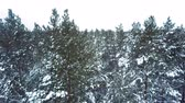 cam : pine trees covered with snow flakes in woodland area
