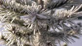 fadas : macro nice small pine tree needles covered with hoarfrost shine in sunlight on frosty winter day
