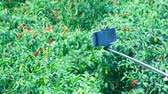 modern smartphone on stick in girl hand against red ripe hot pepper fruits among plants on green plantation 動画素材