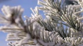 덮개 : macro fantastic picture hoarfrost pieces shine on pine tree needles in sunlight on frosty winter day