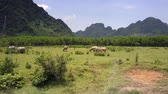 corna : aerial motion above fresh meadow with grazing buffaloes against trees and mountains on day