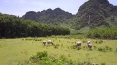 toro : traditional Asian livestock grazes on green field at rural land against large mountains aerial view Filmati Stock