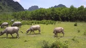 быки : large brown buffaloes walk and eat fresh grass on field surrounded by fence on spring day upper view