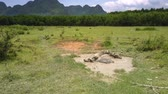 pasturage : Asian buffaloes bathe in dirty puddle on wide grassland against forest and mountains upper view Stock Footage