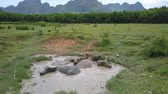 pasturage : large grey buffaloes relax in dirty puddle on lush pastureland against wood and mountains aerial view