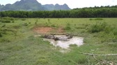 pasturage : large Asian buffaloes lie in small dirty lake on lush pasture at wood on hot spring day aerial view