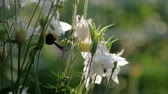 нектар : black endemic bumblebee lands inside white flower with green stem extreme slow motion. Concept endangered species