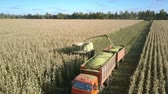 mais : aerial view modern forage harvester mows and loads ripe corn stems into truck trailer on farmland