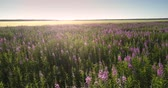 lavanda : different butterflies and bees fly over purple lavender flowers meadow against ripe wheat field lit by sun upper view. Concept environment agriculture Stock Footage