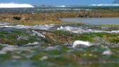 tropical climate : oceanic water flows over brown rocks with green seaweed against blurry waves slow motion close view. Concept ecosystem change and low tide