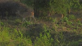 оленьи рога : beautiful deers walk along green and brown grass in forest on summer day slow motion. Concept national park