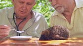 riccio : professional aged doctor feeds ill hedgehog with silver spoon taking milk from white plate in garden. Concept endangered species examination Filmati Stock