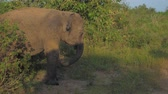 elefante : small elephant walks in car shadow at green grass lit by sun in summer slow motion. Concept nature conservation Vídeos