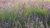 lavanda : Lavender swinging in the wind Stock Footage