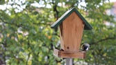 golden : Birds Titmouse feeding on a small wooden birds house Stock Footage