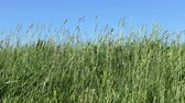 field : Long green grass moving in the wind, 4K video Stock Footage