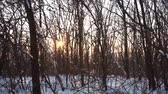 winter forest and sun