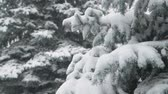 snowfall : Winter season. Snowy fir trees are in snowstorm.