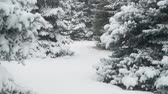 geada : Winter season. Snowy fir trees are in snowstorm.