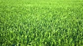 mudas : Young sprouts are on the field. Green grass closeup. Vídeos