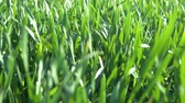 mezők : Young sprouts are on the field. Green grass closeup. Stock mozgókép