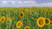 girassol : Sunflower field - beautiful summer landscape