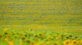 Sunflower field - bright yellow flowers, beautiful summer landscape Wideo