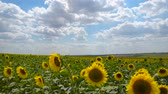 Sunflower field - bright yellow flowers, beautiful summer landscape 動画素材